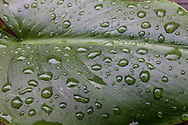 Rain drop remain on the broad leaf of a calla lily after a passing storm