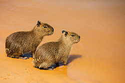 A pair of young capybaras (Hydrochoerus hydrochaeris) sitting on the water's edge of a sandy river bank, Pantanal, Brasil, South America