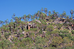 Livisitonia palms (Livistonia eastonii) on a Kimberley hillside.