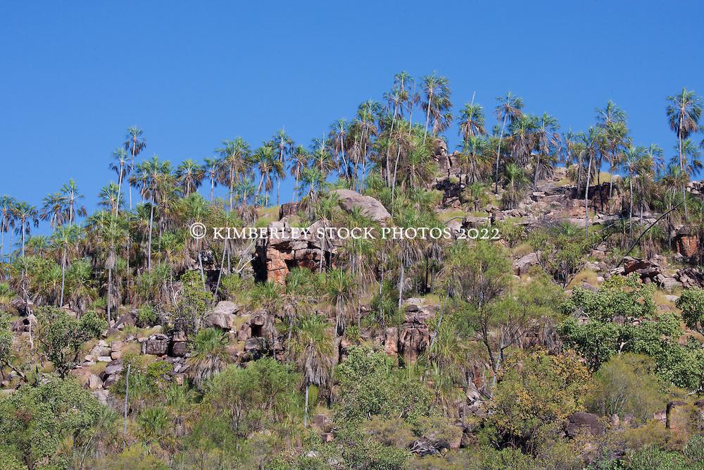 Livisitonia palms (Livistonia eastonii) on a Kimberley hillside.