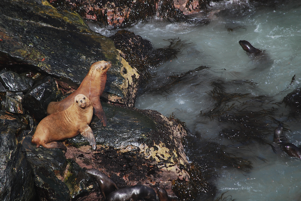 South American sea lions. Paracas, Peru.(Otaria flavescens)