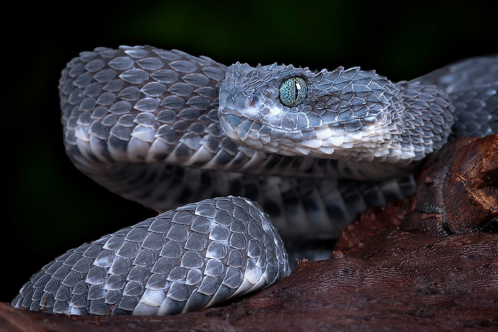 One of my favorite snakes shot, from DTS Herps