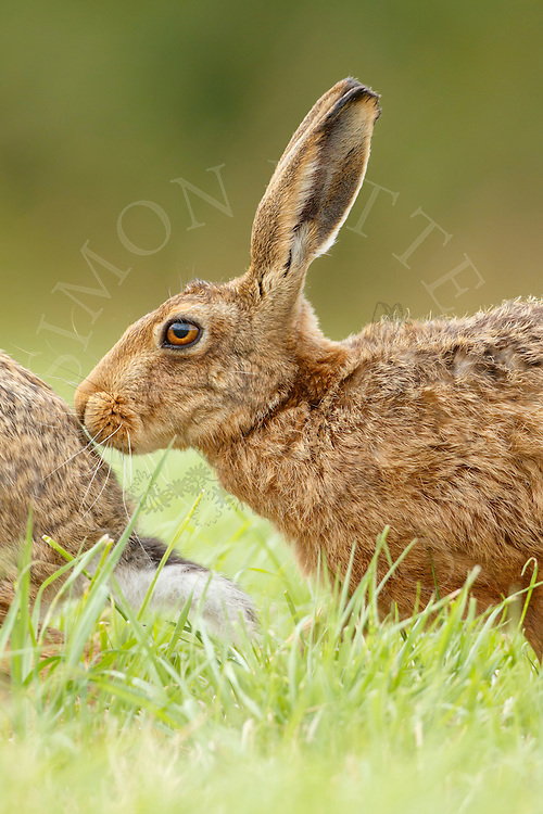 European Hare (Lepus europaeus) adult male sniffing female, South Norfolk, UK. July.