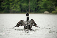 Kayaking on Lake Wicwas with loons, blue heron and sailors.  Karen Bobotas for the Laconia Daily Sun