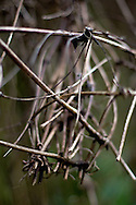 A Clematis vine (Clematis montana) without leaves in the winter.