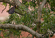 Jeceaba_MG, Brasil...Ave de rapina no galho de uma arvore em Jeceaba, Minas Gerais...The bird of prey on the branch tree in Jeceaba, Minas Gerais...Foto: JOAO MARCOS ROSA / NITRO
