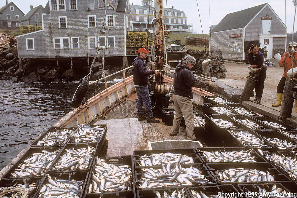 MONHEGAN ISLAND, MAINE - NOVEMBER 10: Lobster bait arrives on the dock November 10, 1999 on Monhegan Island, Maine. Lobstermen on Monhegan use a mix of mackerel and herring to lure the lobsters into their traps. Monhegan Island, home to lobstermen and painters and a popular destination for tourists is twelve miles off the coast of Maine. Ringed by high, dark cliffs, its interior a mix of meadows, marsh and spruce groves, Monhegan is one of just 14 true island communities left off the coast of Maine. The island has a 65 permanent, year-round residents and the population grows to around 200 in the summer, with day-trippers adding several hundred more. (Photo by Amy Toensing) _________________________________________<br />