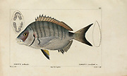 Sargus (Sargue) from Histoire naturelle des poissons (Natural History of Fish) is a 22-volume treatment of ichthyology published in 1828-1849 by the French savant Georges Cuvier (1769-1832) and his student and successor Achille Valenciennes (1794-1865).