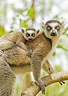 Ring-tailed lemur (lemur catta) with a baby on her back in the Anja private community reserve near Ambalavao in southern Madagascar.
