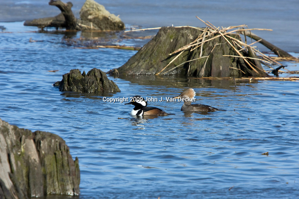 Hooded Mergansers male and female swimming