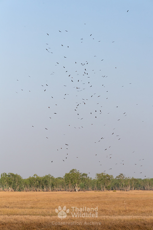Black Kites (Milvus migrans) at Nakhorn Nayok in Thailand. See spiralling on a hot air column to get lift. They do this each morning to use the air currents to gain altitude.