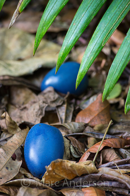 Blue fruit of the Cassowary Plum (Cerbera floribunda) on the ground in a rainforest, Daintree region, Queensland, Australia