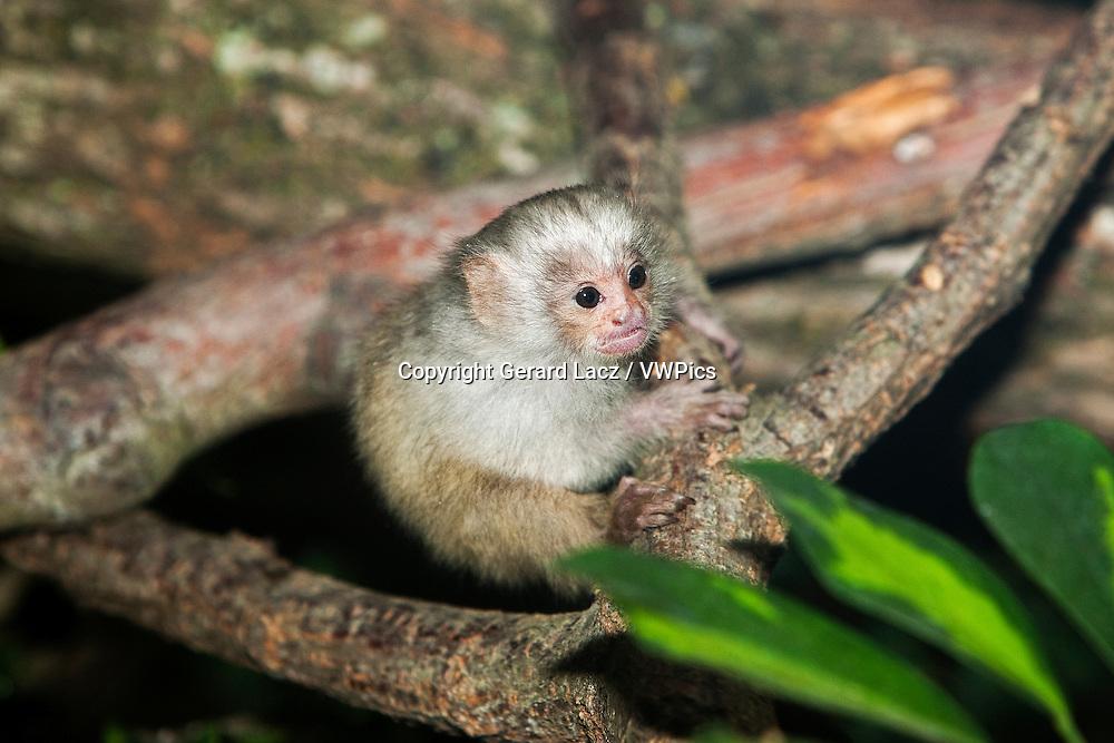 BABY SILVERY MARMOSET mico argentatus ON A BRANCH