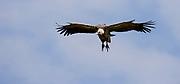 Ruppel's Griffon Vulture (Gyps rueppellii) heading fro a prey in Maasai Mara, Kenya.