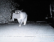 "Exclusive -  San Mateo, CA; <br /> <br /> Dusty does his best work at night. <br /> <br /> Under cover of darkness, the felonious feline prowls his San Mateo neighbourhood n search of towels, gloves, socks, underwear, swimsuits, balls, bags, balloons, toys – really any loose object that he's able to drag back to his house. On a slow night, he might steal just one or two items. On a busy night, close to a dozen.<br /> <br /> This went on for years, with Dusty bringing things home and his owner, Jean Chu washing, cleaning and stacking them at her dental office to be claimed by the rightful owners. <br /> <br /> But two weeks ago, Dusty went big-time. After he was featured on TV's Animal Planet, complete with night-vision footage of him dragging stolen items down the sidewalk, he became an internet sensation. <br /> <br /> Most recently, Dusty and his human family were flown to New York to appear on David Letterman's Late Show.<br /> <br /> Though Chu thought maybe her cat could someday gain a little notoriety, she never imagined anything like this. Mostly she just chuckled at the new items strewn about on her lawn each morning.<br /> Chu has kept a record of every object Dusty brought in from the moment she realized he was doing it. So she knows, for example, that on July 20, 2009, Dusty brought in four towels, four socks, a small mesh bag, a potholder and a yellow glove. In all, she says, she can list more than 500 items the cat has dragged home.<br /> Where is he finding all these things? Chu doesn't know – Perhaps he's finding them on washing lines, or in the neighbours' garages, she says.<br /> Whatever he does, he's elusive about it: Before the Animal Planet footage, Dusty's thefts were very rarely seen.<br /> ""I saw him only once,"" Chu said. ""I was sitting out in the front and he came in with a glove.<br /> ""Dusty was always a character, right from the get-go,"" she says.<br /> Photo Shows: The felonious feline has stolen over 500 items from neighbours in San Mateo, CA. Dusty's owner, Jean Chu, has some of the items, including more than 90 gloves,"