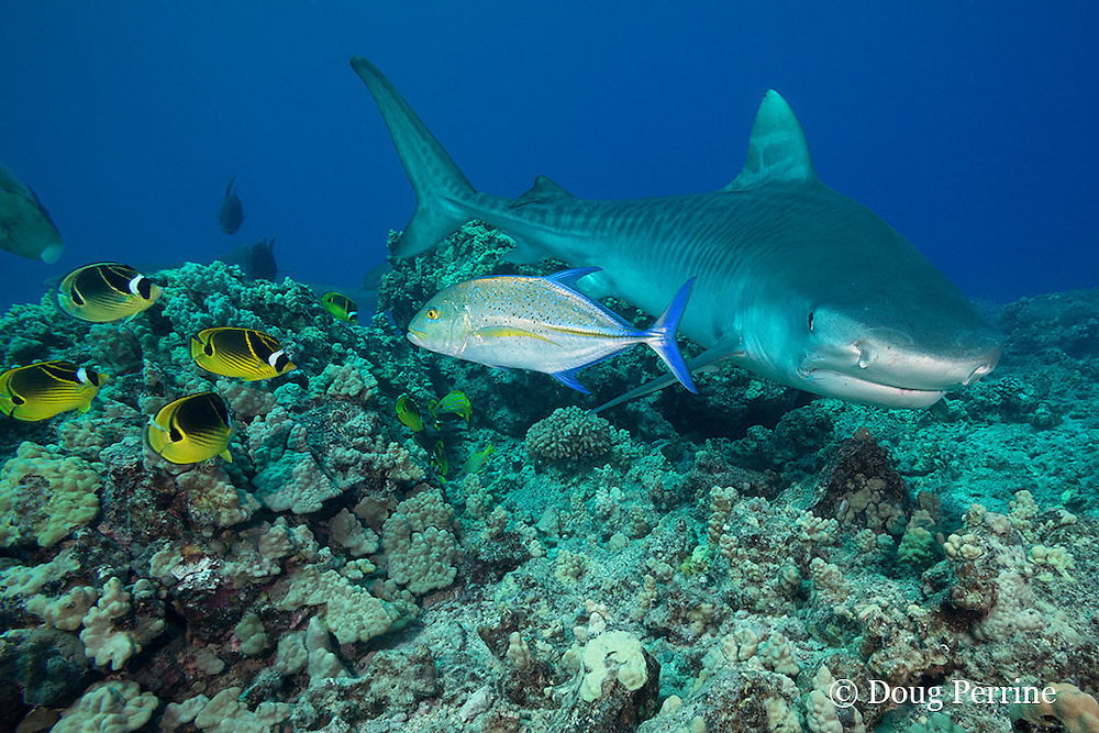 tiger shark, Galeocerdo cuvier, swims over reef with bluefin trevally or omilu, Caranx melampygus, racoon butterflyfish, Chaetodon lunula, and other reef fish, Honokohau, Kona, Big Island, Hawaii, USA ( Central Pacific Ocean )