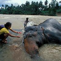 (MR) Sri Lanka, Tourist splashes Elephant in river at Pinnewala Orphanage (Elephant maximus)