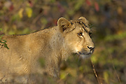 Sasan Gir - Monday, Jan 08 2007:  Head shot of male Asiatic Lion cub standing in undergrowth at Gir National Park. (Photo by Peter Horrell / http://www.peterhorrell.com)