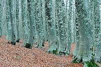 Common beech forest (Fagus sylvatica), Basilicata/Calabria, Pollino National Park, Italy. November 2008. Mission: Pollino National Park