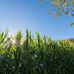 Corn field in Middleborough, Massachusetts.