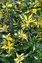 Euonymus japonicus Exstase syn. 'Goldbolwi'