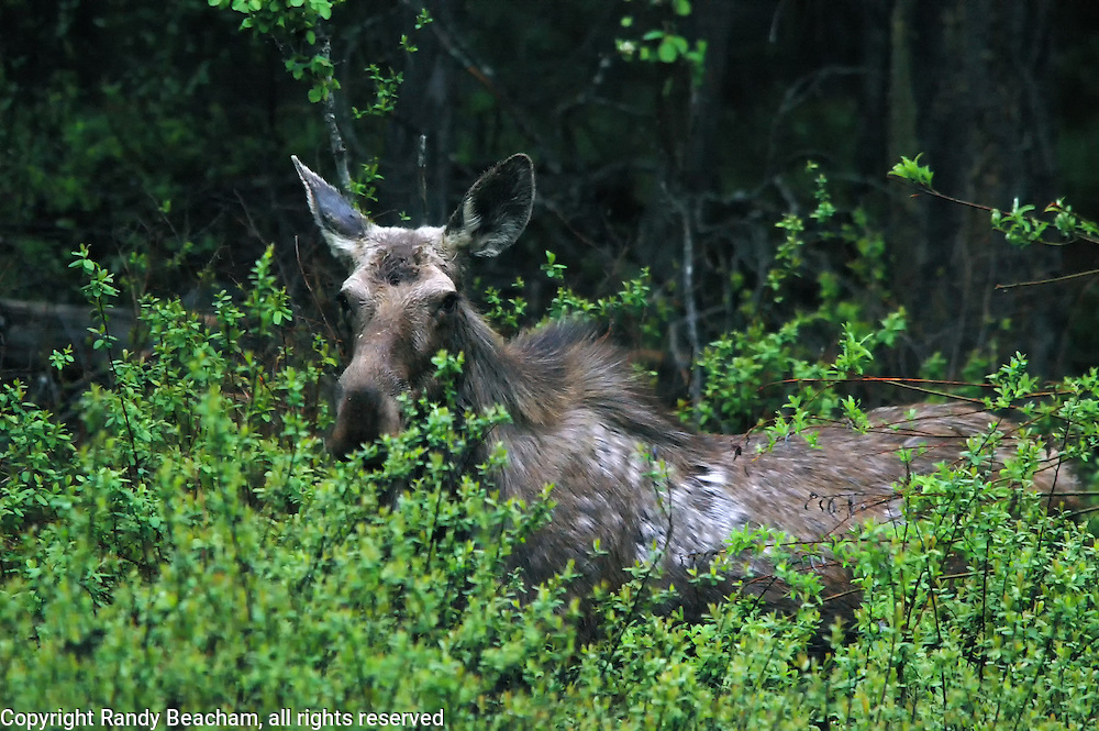 Cow Moose sheding fur in spring. Yaak Valley, northwest Montana.