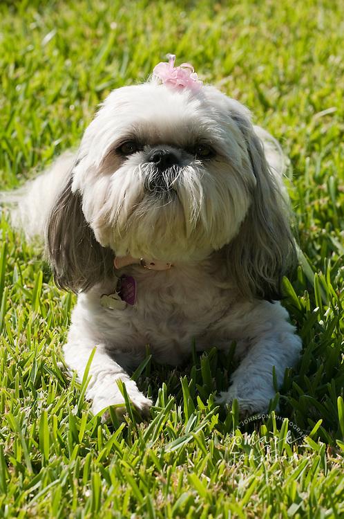 Shitzu purebred dog