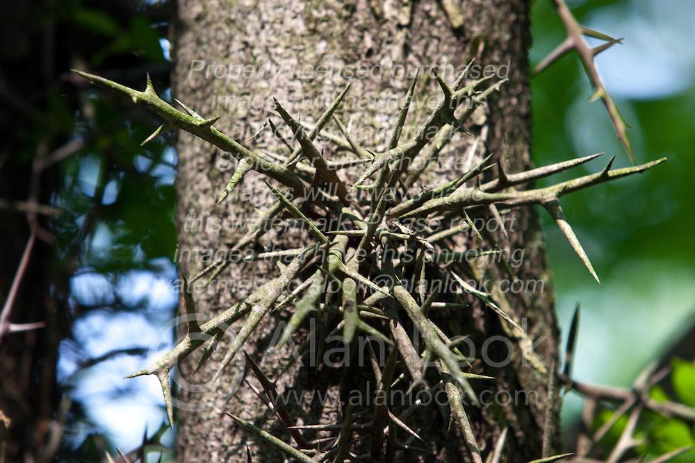 24 May 2009: Thorns of a Honey Locust tree