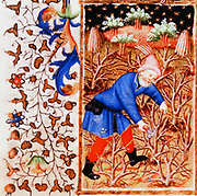Man cutting or pruning bushes. From illustration for the month of March the 'Bedford Hours', French 15th century illuminated manuscript.