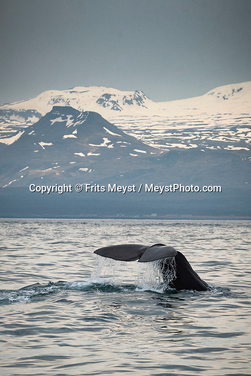 Iceland, April 2019. A rare sperm whale makes its appearance in front of the glacier. Scientists, storytellers and industrial designers work together during the Ocean Missions Iceland scientific sailing expedition aboard Schooner Opal.  The organisation wants to inspire people to take direct action towards ocean conservation, by combining science and education with exploration and adventure. Photo by Frits Meyst / Meystphoto.com
