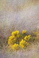Alkali Muhly (Muhlenbergia asperifolia) Scratchgrass and Rabbitbrush blossom, South Shore, Mono Lake, Mono County, Eastern Sierra, California