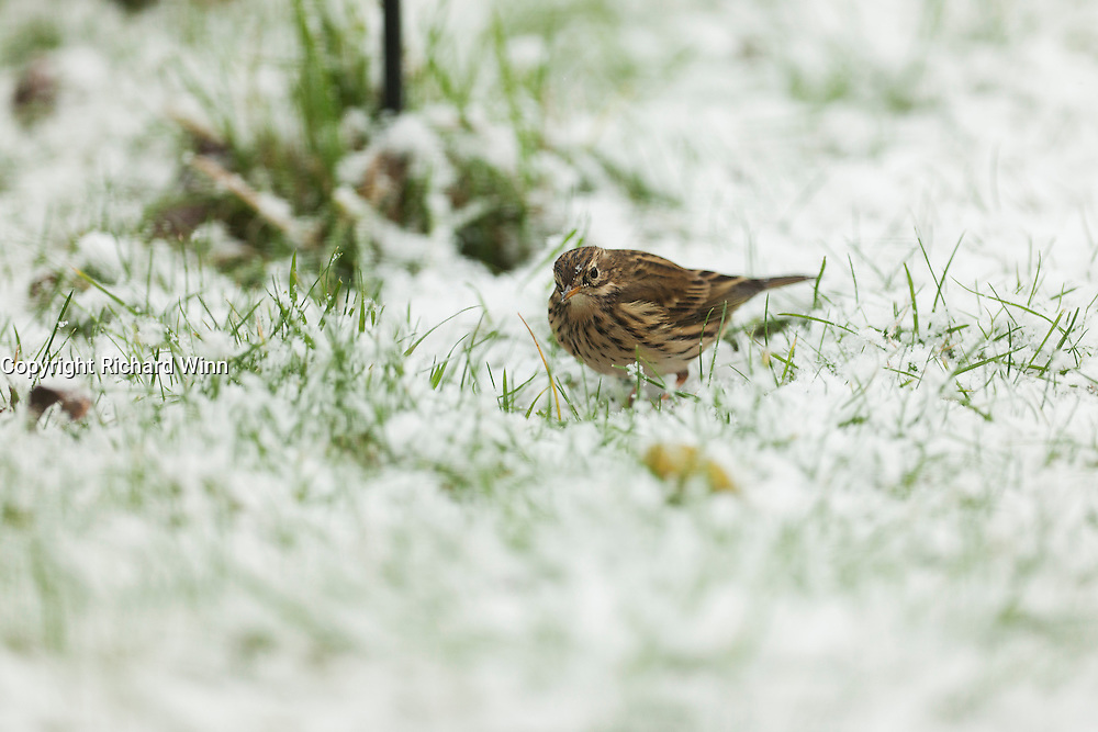 Meadow pipit looking towards the camera while hunting for food amongst the snow in an urban garden.