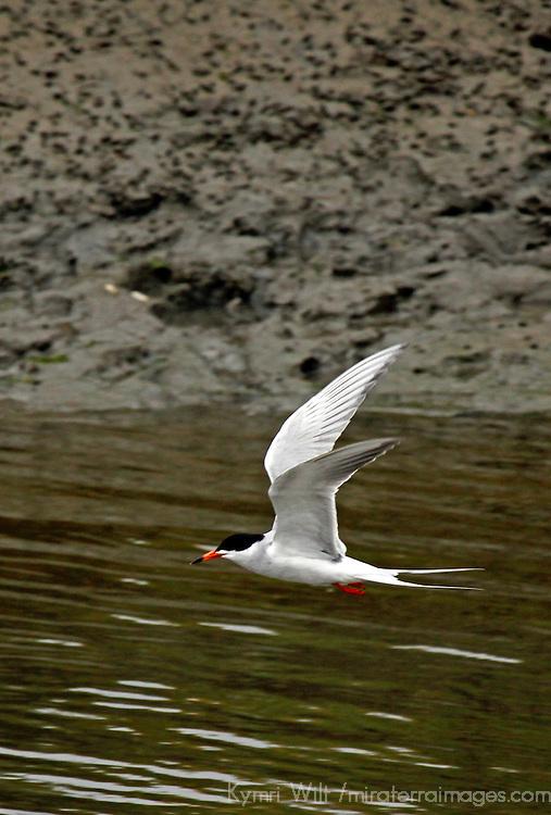 USA, California, San Diego.  Forster's Tern fishing at San Elijo Lagoon.