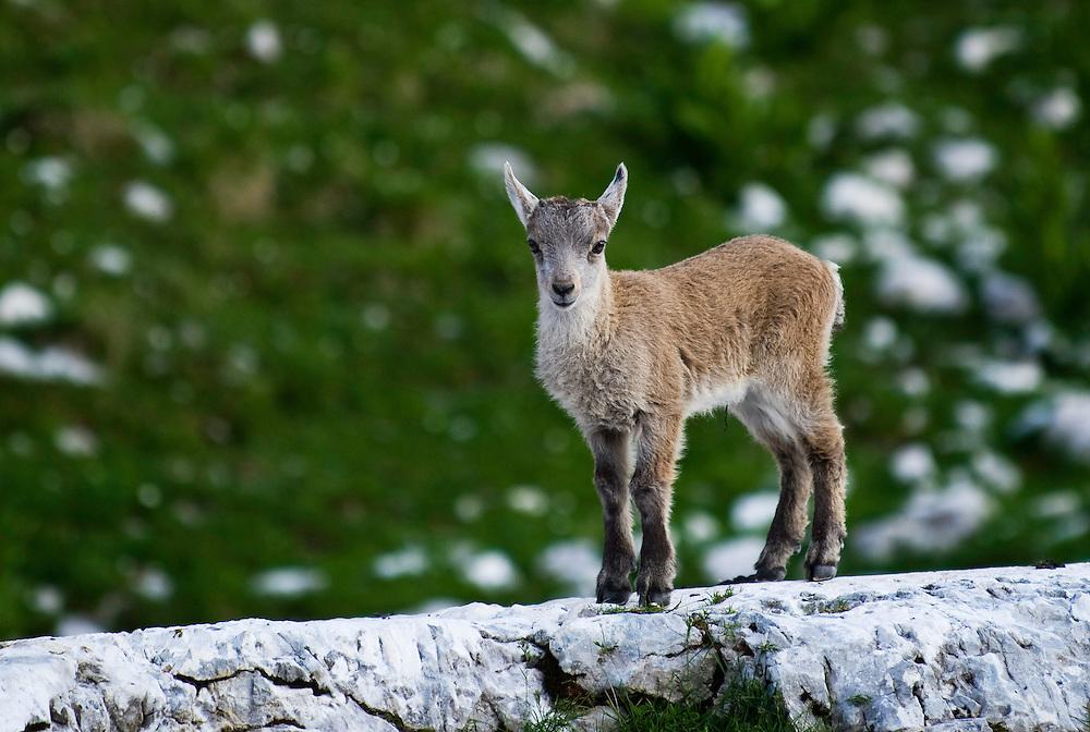 Ibex (Capra ibex), young<br /> Julian Alps<br /> Triglav National Park, Slovenia<br /> July 2009