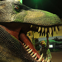 Alaric Rand, 3, checks the teeth of a Tyrannosaurus Rex during Dino-Roars! exhibit in the Great Room of the Delbridge Museum of Natural History on Sunday, Feb. 8, 2015. Dino-Roars! includes 19 animatronic dinosaurs in various sizes and is open daily February 3 through May 3, 2015. Admission is $3 per person, plus Zoo admission.