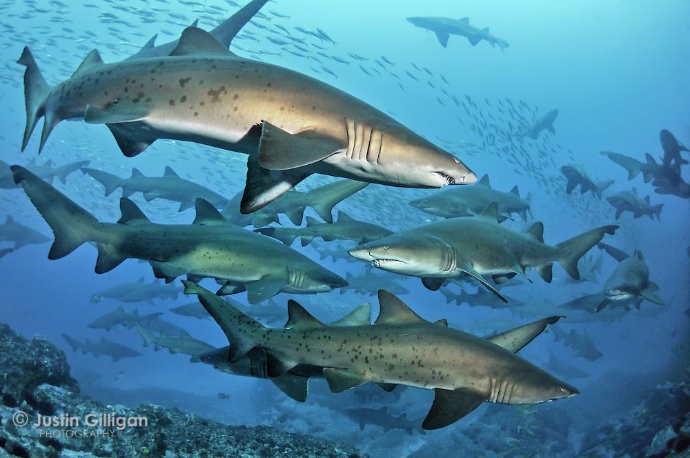 Rare aggregation of grey nurse sharks. Seal Rocks, NSW, Australia.
