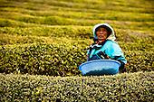 Korean Green Tea Plantation