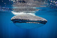 A 15 meter whale shark (Rhincodon typus) plays chicken with the photographer. In reality these massive animale show amazing awareness and control as they move around hapless divrs that get in their way.