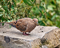 Mourning Dove. Image taken with a Leica SL2 camera and Sigma 100-400 mm lens