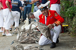 © Licensed to London News Pictures. 17/07/2017. London, UK. David Barber, The Queen's Swan Marker holds a Signet swan amongst a group of 9 Signet swans on the riverbank. Swan Upping takes place on the River Thames near Windsor, Berkshire, UK. The annual event dates from medieval times, when The Crown claimed ownership of all mute swans which were considered an important food source for banquets and feasts. Today, the cygnets are weighed and measured to obtain estimates of growth rates and the birds are examined for any sign of injury, commonly caused by fishing hook and line. The cygnets are ringed with individual identification numbers by The Queen's Swan Warden, whose role is scientific and non-ceremonial. Photo credit: Ray Tang/LNP