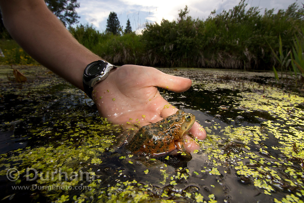 Student Biologist Kyle Tidwell studies Oregon Spotted Frog (Rana pretiosa) in Conboy Lake National Wildlife Refuge, Washington. © Michael Durham / www.DurmPhoto.com