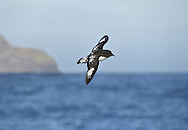 Cape Petrel - Daption capense