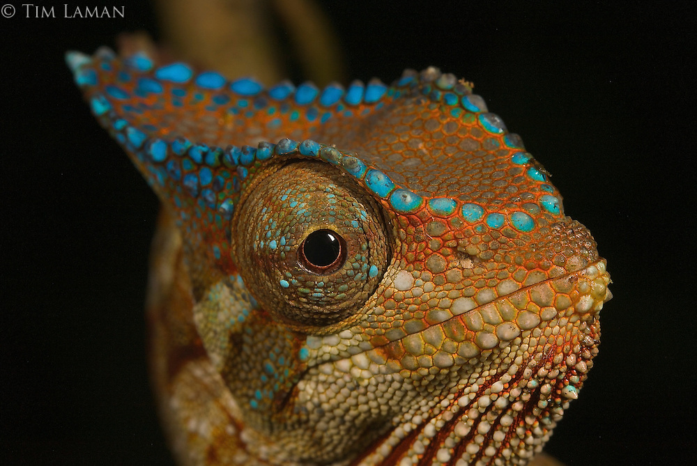 A close-up of the head of a Crested Chameleon (Chamaeleo cristatus).