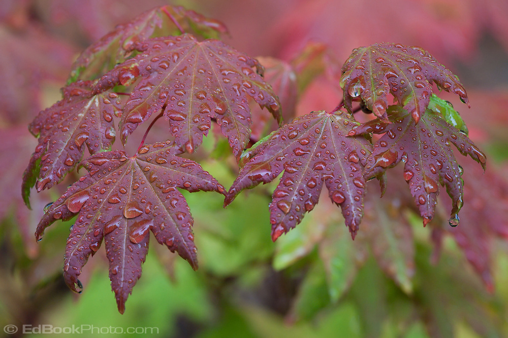 wet vine maple (Acer circinatum) leaves in autumn color in the Washington State Department of Natural Resources (DNR) Tahoma State Forest school trust lands south of Ashford, WA in the Cascade Mountain Range.