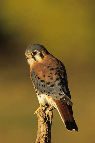 American Kestrel, (Falco sparverius) Captive Animal.