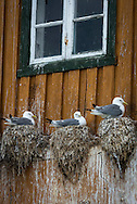 """Sor Gjaeslingan, Vikna, Trondelag, Norway, July 2015. Seagulls nest on a ledge of a traditional fishing house. Sør-Gjæslingan (South Duckling) Island lies to the south of Vikna island off the northwest coast of Norway to the north of Trondheim and south of Bronnoysund. This island is part of the """"Coastal Museum"""" while remaining an active fishing community, although not inhabited year round. Trøndelag lies at the heart of Norway's identity. The rolling hills of the interior with its traditional ox-blood coloured farm houses grow a wealth of produce. In the west the coastline is sculpted by a maze of fjords and islands home to small fishing communities. Photo by Frits Meyst / MeystPhoto.com"""
