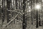 Forest in winter, SAndilands Provincial Forest, Manitoba, Canada