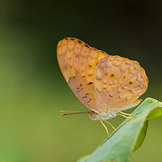 The Common Leopard Butterfly, Phalanta phalantha phalantha.