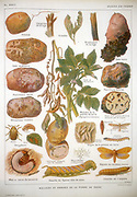 Potato blight. Plate showing diseases of the potato. In centre is Potato Blight (Phytophtera  infestans) a fungal infection spread by aphids, which destroyed crops in Ireland, causing famine in the 19th century. From a French encyclopaedia of agriculture c1920.