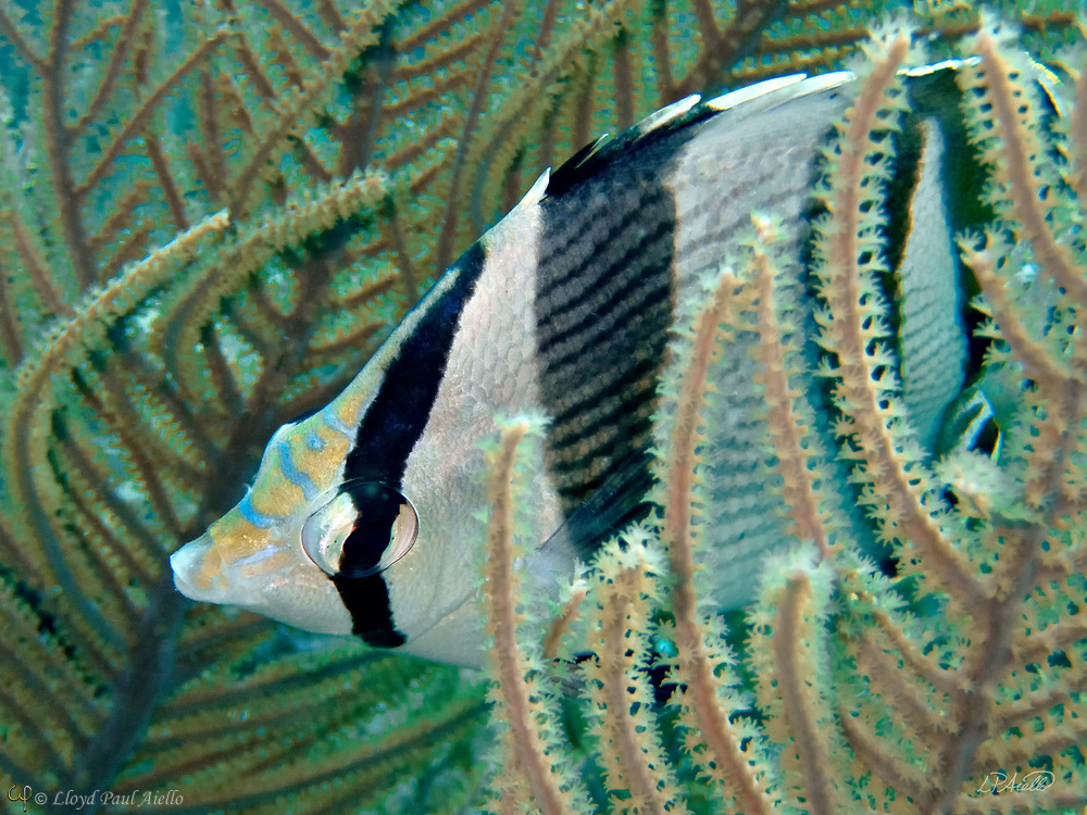 This Banded Butterflyfish (Chaetodon striatus) is passing through a Slimy Sea Plume  (Pseudopterygorgia Americana) at 52 feet below the surface of the Riviera Maya in the Gulf of Mexico.   The banded butterflyfish is found in tropical waters of the western Atlantic Ocean from Brazil to Bermuda. The name is derived from the dark vertical bands on the fish's body and the vertical black bar through the eye.  These markings disrupt the outline of the body and act as an efficient antipredator adaptation.  The banded butterflyfish diet consists mainly of small invertebrates, crustaceans, coral polyps, polychaete worms and various eggs. Sometimes they will even act as a cleaning fish and remove external parasites from surgeon fish, grunts and parrot fish.